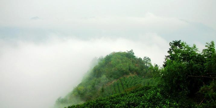 安顶山云雾茶采摘照片
